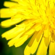 Dandelion — Stock Photo #5544771