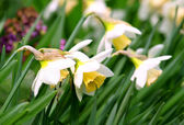 Beautiful daffodils — Stock Photo