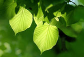 Green foliage glowing in sunlight — Stock Photo