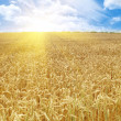 Grain field and sunny day — Stock Photo