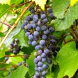 branch of grapes — Stock Photo