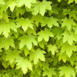 Foto Stock: Maple leafage background.