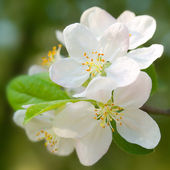 Blossoming apple. — Stockfoto