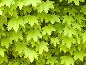 Ahorn leafage hintergrund. — Stockfoto