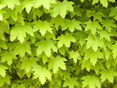 Maple leafage background. — 图库照片