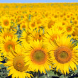 Sunflowers field. — Stock Photo #5833344