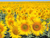 Sunflowers field. — Stock Photo