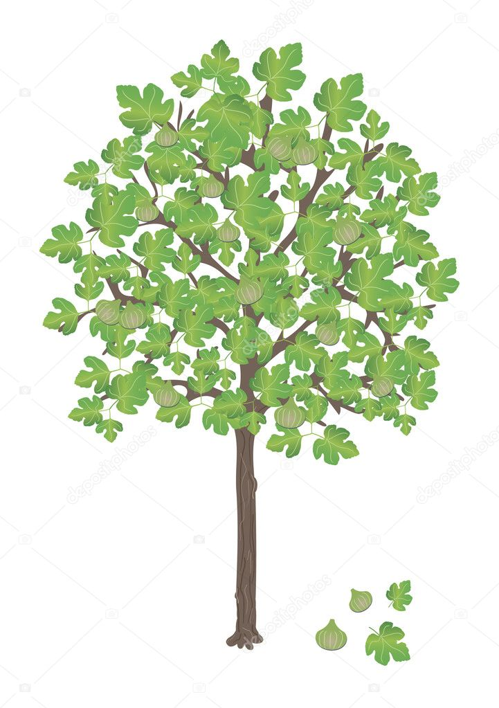 Lettle fig tree with ripe fruits on it — Stock Vector #6310016