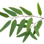 Eucalyptus — Stockfoto