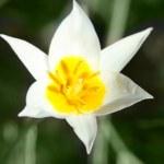 Wild flower tulip close up — Stock Photo