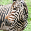 Zebra portret — Stock Photo