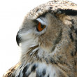 Owl bird — Stock Photo