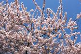 Flower cherry blossoms — Stock Photo