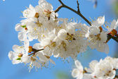 Blossoms of cherry — Stock Photo