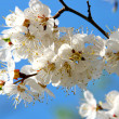 Stock Photo: Flowering branch of cherry