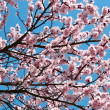 Cherry blossoms — Stock Photo #5648226