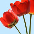 Flower of tulip — Stock Photo #5648717