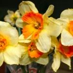 Нарцисс цветок в вазе — Стоковое фото
