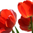 Flowers of  tulip — Stock Photo