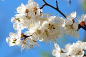 Flowering branch of cherry — Stock Photo