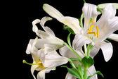 Lily på svart — Stockfoto