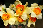 Flower narciss in vase — Stock Photo