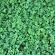 Clover field — Stock Photo