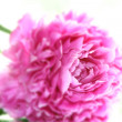 Peony flower — Stock Photo #6112374