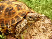 Sköldpadda — Stockfoto