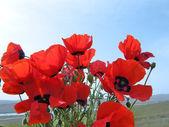 Poppy flower — Stock Photo