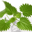 Stock Photo: Nettle leafs