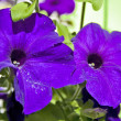 Petunia flower — Stock Photo
