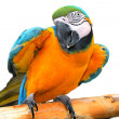 Stock Photo: Colored parrot