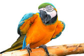 Colored parrot — Stock Photo