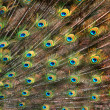 Foto de Stock  : Peacock tail
