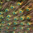 Peacock tail — Stock Photo