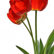 Flower of  tulip - Stock Photo