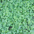 Clover as pattern - Stock Photo