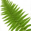 Leaf  of fern isolated close up - Stock Photo