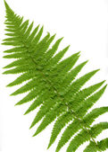 Leaf of fern isolated close up — Stock Photo