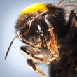 Stock Photo: Bumblebee close up