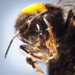 Bumblebee close up — Stock Photo