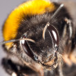 Bumblebee close up — Stock Photo