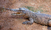 Young crocodile, alligator on an ox — Stock Photo