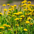 Field from the flowering yellow dandelions — Stock Photo