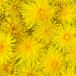 Abstract background of flowering yellow dandelions — Stock Photo