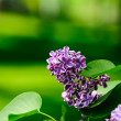 Leaves and lilac flowers — Stock Photo
