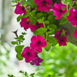 Beautiful petunia flowers — Stock Photo