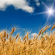 Summer field with full grown golden grain. — Stock Photo