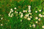Wspaniałe wiosenne kwiaty na trawie. — Zdjęcie stockowe